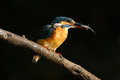 Kingfisher with fish common on black Royalty Free Stock Photo