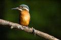 Kingfisher with fish common ukraine Stock Images