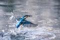 Kingfisher Royalty Free Stock Photo