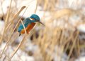 Kingfisher in holland a photo of a bird Royalty Free Stock Photography