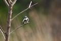 Kingfisher looking