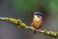 Kingfisher perched on branch against a grey background Royalty Free Stock Images