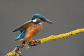 Kingfisher perched on branch against a grey background Royalty Free Stock Photo