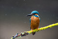 Kingfisher perched on branch against a grey background Stock Photography