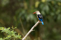 Kingfisher Perched On Branch In Ngorogoro Stock Image
