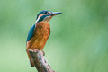 Kingfisher a perched on a branch on the river weaver Stock Photo