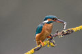 Kingfisher perched on branch with stickleback in beak Stock Images
