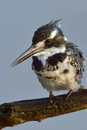 Kingfisher pied watching for fish in pilanesberg nature reserve Stock Photos