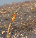 Kingfisher portrait Royalty Free Stock Photos