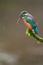 Kingfisher in Rain Royalty Free Stock Photo