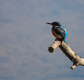 Kingfisher sitting on a branch over the spinnies lake north wales Stock Photos