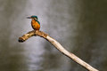 Kingfisher waiting on a branch whilst fishing Royalty Free Stock Photo