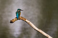 Kingfisher waiting on a branch whilst fishing Royalty Free Stock Images
