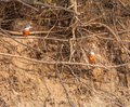 Kingfishers sitting on the bank of the river and looking for fish