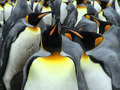 Kings penguins Royalty Free Stock Photo