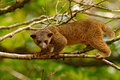 Kinkajou, Potos flavus, tropic animal in the nature forest habitat. Mammal in Costa Rica. Wildlife scene from nature. Wild Kinkajo