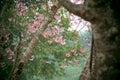 Kirschblüte blumen die im winter blühen Lizenzfreies Stockfoto