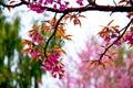 Kirschblüte blumen die im winter blühen Stockfoto