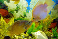 Kiss astronotus and red parrot cichlid in an aquarium Royalty Free Stock Photos
