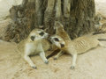 Kiss of meerkat at zoo Royalty Free Stock Image
