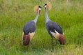 Kissing Crowned Cranes Stock Photo