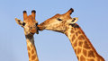Kissing giraffes giraffe pair in the kruger national park south africa suitable as wildlife image or for special occasions such as Royalty Free Stock Image