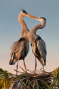 Kissing herons Royalty Free Stock Photo