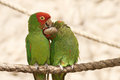 Kissing parrots on a rope Royalty Free Stock Photo