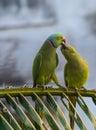 Kissing parrots Royalty Free Stock Photo