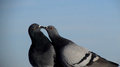 Kissing pigeons Royalty Free Stock Photo