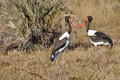 Kissing saddle billed stork pair a of male dark iris and little yellow wattle and female bright yellow iris black and white and Royalty Free Stock Images