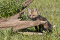 Kit red fox standing by log Royalty Free Stock Image