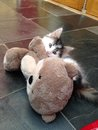 Kitten attacking a teddy bear small black and white Stock Image