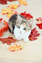 Kitten in autumn leaves a cute little lying between fall on floor Stock Photo