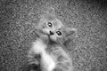 Kitten baby cat close up view gray background Royalty Free Stock Photography