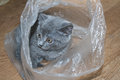 Kitten in a bag playing with package russia south ural Royalty Free Stock Images