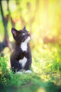 Kitten bathed in sunlight portrait of cute black and white sat on green grass with background Royalty Free Stock Photography