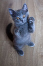 Kitten beggar standing on his hind legs brit rock blue Stock Photo