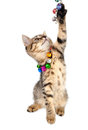 Kitten with bells necklace playing little studio shot Royalty Free Stock Photo