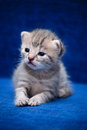 Kitten on a blue background the fluffy slay dark Stock Image