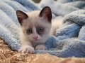 Kitten breed snowshoe two monthes little with blue eyes Stock Images