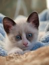 Kitten breed snowshoe two monthes little with blue eyes Stock Photography