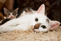 Kitten and cat cute little with pink nose white mustache blue eyes Stock Images