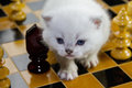 Kitten on a chessboard british shorthair silver point kitty and Stock Photo