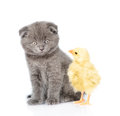 Kitten and chick sitting together. isolated on white background Royalty Free Stock Photo