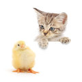 Kitten and chicken Stock Images