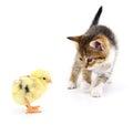 Kitten and chicken.