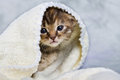 Kitten closed in towel warm sleepy small white Royalty Free Stock Photo