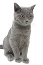 Kitten closeup isolated on a white background vertical photo breed scottish straight age months Stock Image
