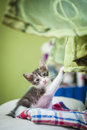 Kitten on couch resting a holding the curtain Stock Photos